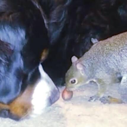 リス君、ワンちゃんの毛の中にナッツを隠そうとするの巻