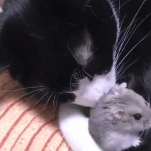 ネコがげっ歯類と一緒におねんねする時代となりました😀【動画】(あとは人間が人種を越えて仲良くなってくれるといいんですが・・・)