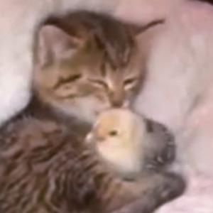 またまたネコちゃんが種を越えて愛情を示してくれました!今度はヒヨコと・・・