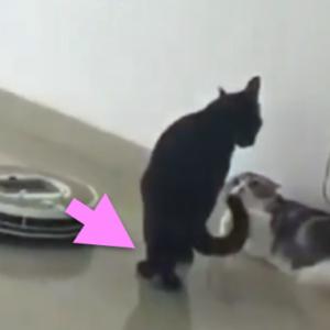 にらみ合っているネコの間にルンバが突進してきたら・・・ネコの動作が最高!