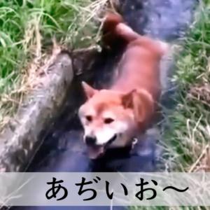 暑い日本、動物への影響「ワンちゃん編」、小川に流されるままに・・・
