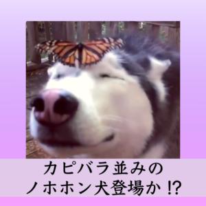 ハスキー犬に癒やされる〜! 蝶もつい顔の上で羽を伸ばして一休み ♬