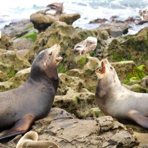 アザラシの歌い方は人間と同じ上喉頭を使っていることが判明! (2019年最新論文)